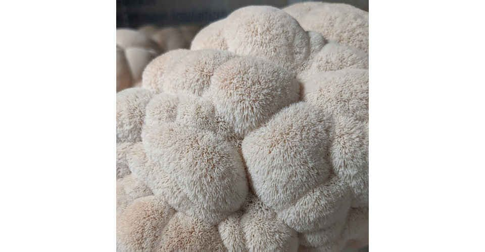 Lion's Mane Mushrooms (1/2 lb) from Vitruvian Farms in Madison, WI