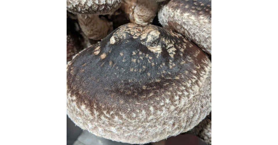 Shiitake Mushrooms (1/2 lb) from Vitruvian Farms in Madison, WI